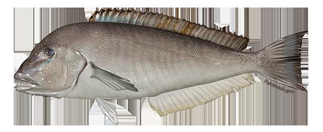 Illustration of Blueline Tilefish