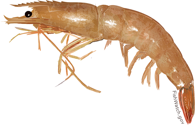 Illustration of a Brown Rock Shrimp