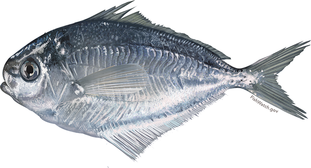Illustration of a Butterfish