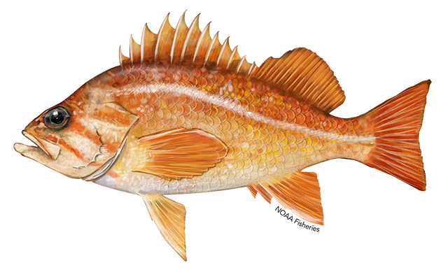 Canary rockfish illustration.