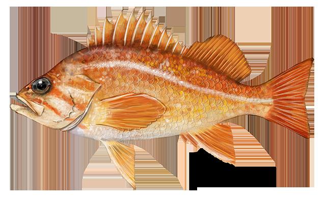 Canary rockfish illustration.