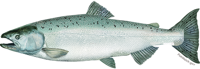 Illustration of a Chinook Salmon