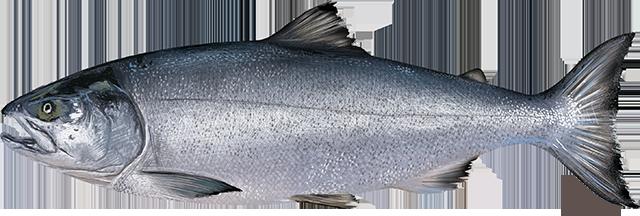 Chum Salmon illustration