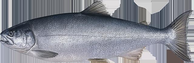 Coho Salmon illustration