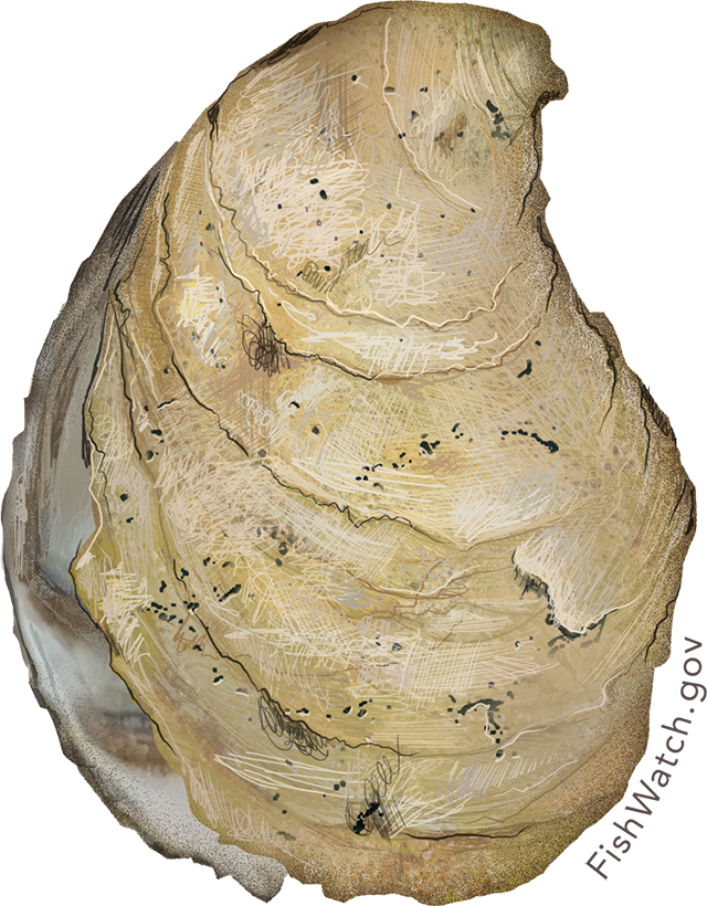 Illustration of an Eastern Oyster