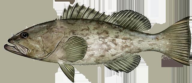 Illustration of a Gag Grouper