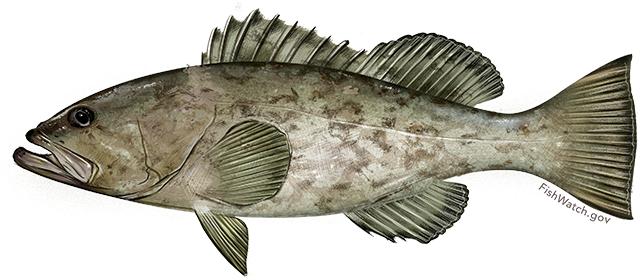Illustration of a Gag Grouper