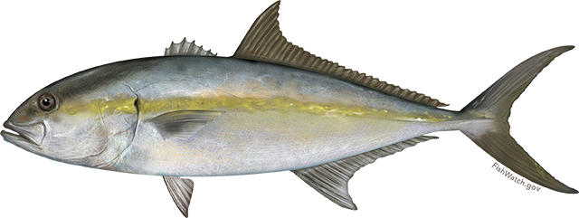 Illustration of a Greater Amberjack.