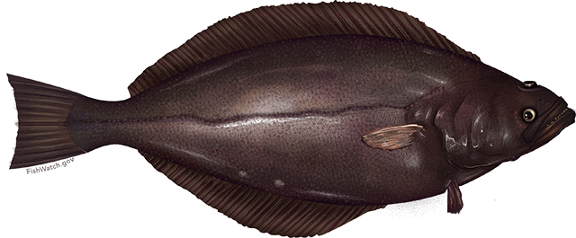 Illustration of a Greenland Turbot