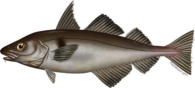 Illustration of a Haddock