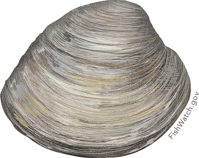 Illustration of a Hard Clam, also known as Northern Quahog