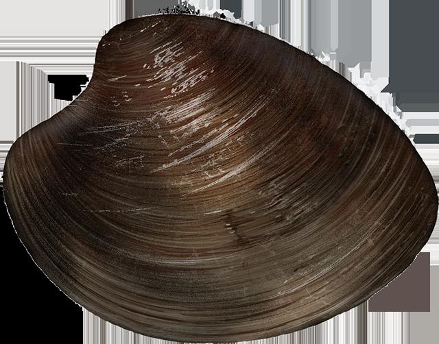 Hard clam/ocean quahog
