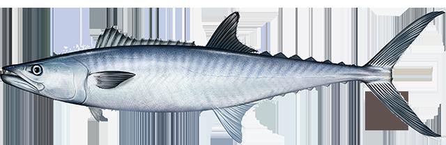 Illustration of a King Mackerel