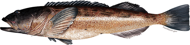 Illustration of a Lingcod
