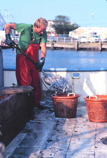 Picture of offloading squid from the fishing vessel Atlantic Traveler at Co-op Seafood Market dock in New Jersey image