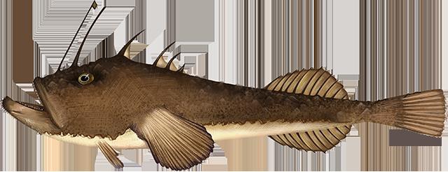 Illustration of a Monkfish