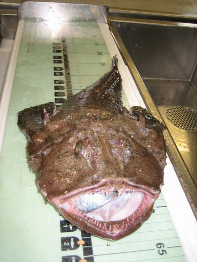 Measuring a monkfish.