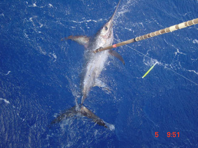 Because of fish size and risk of serious injury to the tagging crew, researchers harpoon satellite tags into large swordfish rather than bringing them aboard to tag image