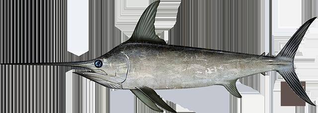 Illustration of a North Atlantic Swordfish