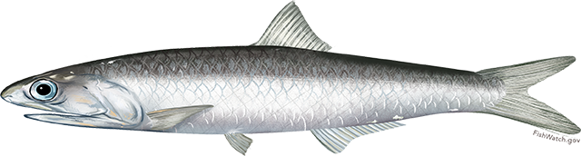 Illustration of a northern anchovy