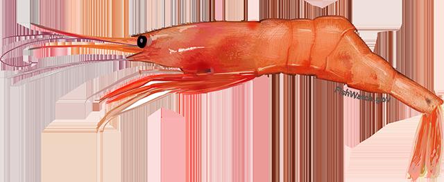 An illustration of an Atlantic Northern Shrimp