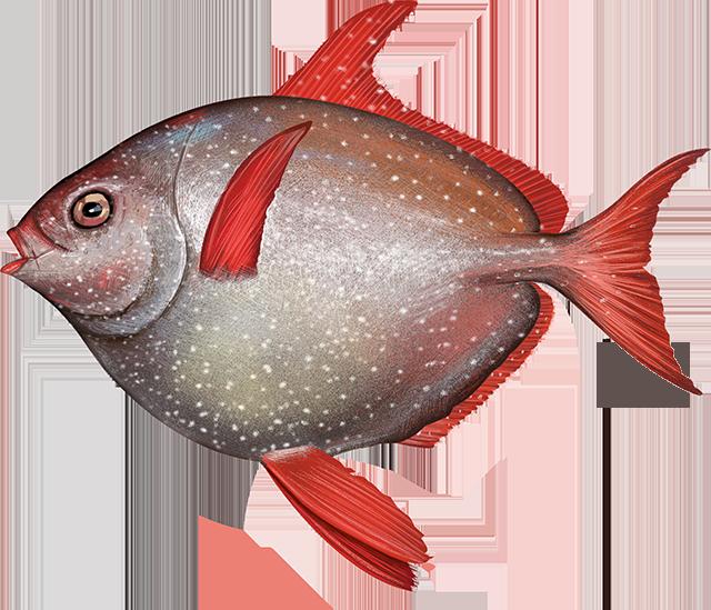 Illustration of an Opah