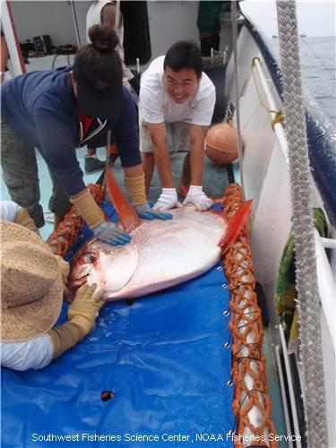 Researchers examine and later release this opah caught off California.