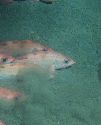 School of Pacific ocean perch on soft bottom in the Gulf of Alaska, as observed from the submersible Delta. (Photo credit: S. Kalei Shotwell)