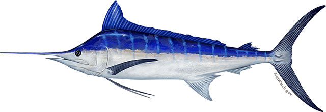 Illustration of a pacific blue marlin