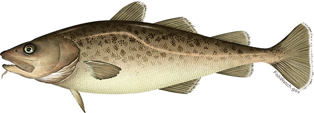 Illustration of a pacific cod