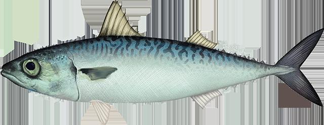 Illustration of a Pacific Mackerel