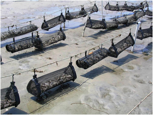 "Shellfish farming techniques include grow-out in bags placed in the tidelands, suspended culture, and ""rack and bag"" grow-out, among others."