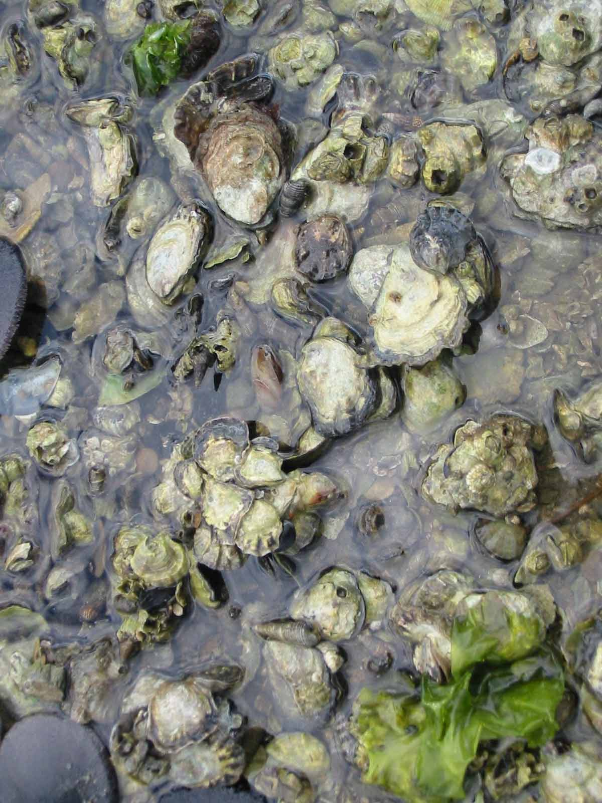 Rebuilding Olympia oyster populations in Puget Sound, Washington, provides critical habitat and water quality attributes upon which other species depend. Source: Puget Sound Restoration Fund