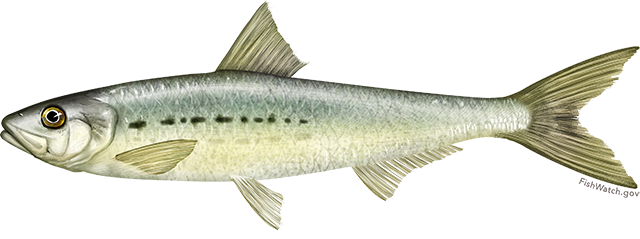 Pacific sardine illustration.