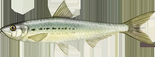 Illustration of a Pacific Sardine