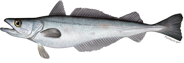Illustration of a Pacific Whiting