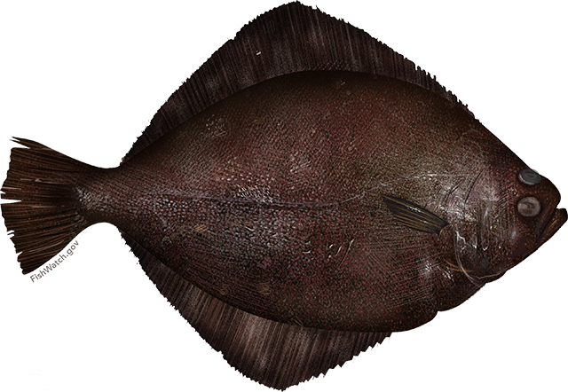 Illustration of a Petrale Sole