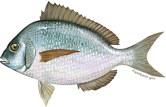 Illustration of a Scup