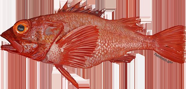 Illustration of shortspine thornyhead.