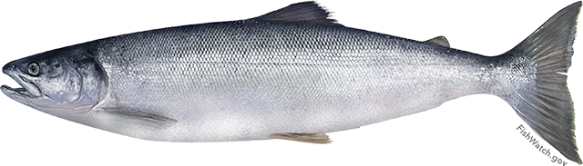 Illustration of a Sockeye Salmon