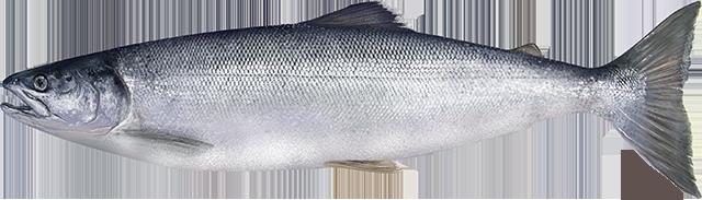 Illustration of a Sockeye Salmon