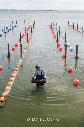 Picture of shellfish farmer walking through aquaculture farm.