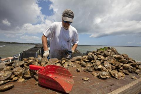 Oyster farmer at work