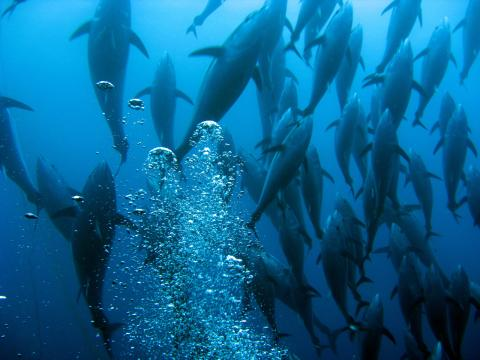 Bluefin tuna swimming up. Image by Guido Montaldo/Getty Images