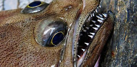 Flatfish image