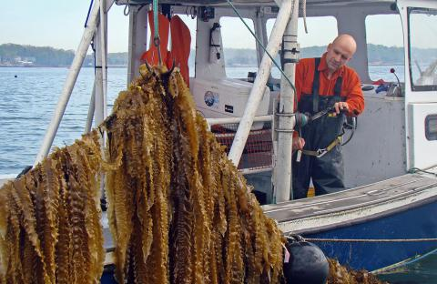 Sugar kelp cultivation