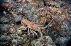 Caribbean spiny lobster in its reef habitat.