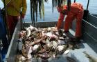 Fishermen looking through catch from a bottom trawl that includes some skates.