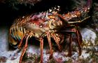 Caribbean spiny lobster. Photo credit: Caribbean Fishery Management Council.