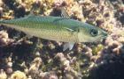 Atlantic chub mackerel swimming along bottom habitat